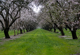 Central Valley Orchards