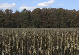 corn and trees