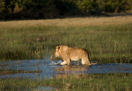 Lion crossing the water