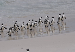 penguins emerging from the water after fishing