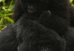 Baby Mountain Gorillas playing in the jungle - taking shelter be