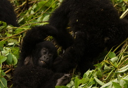 Baby Mountain Gorillas