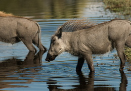 Warthogs in the water