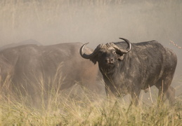 Cape Buffalo charging through the dust