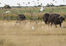 Cape Buffalo & a swarm of birds